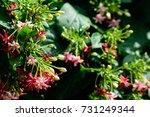quisqualis indica   combretum... | Shutterstock . vector #731249344