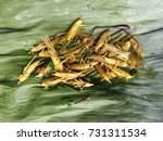 Small photo of Street food Crispy grasshoppers on green banana leaf.Crispiness or crispness is the gustatory sensation of brittleness in the mouth, such that the food item shatters immediately upon mastication.