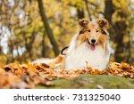 autumn rough collie | Shutterstock . vector #731325040