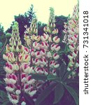white with pink lupine  lupin.... | Shutterstock . vector #731341018