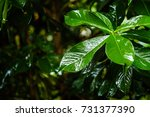 green leaf with water drops. | Shutterstock . vector #731377390