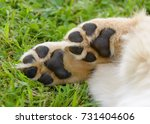 dog's paws showing pads  golden ... | Shutterstock . vector #731404606