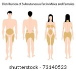 Subcutaneous fat distribution in human - stock vector