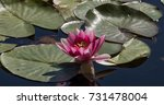 pond lily | Shutterstock . vector #731478004