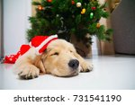 Stock photo sleeping puppy in santa claus hat for christmas 731541190