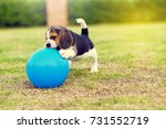 Stock photo little beagle playing with ball in garden 731552719
