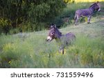Two Gray Mini Donkeys In Rural...