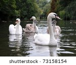 Tranquil Scene Of A Swan Famil...