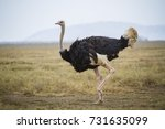 Running ostrich - Serengeti National park - Tanzania