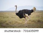 Running Ostrich   Serengeti...