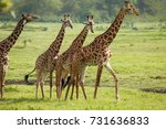 giraffes in arusha national... | Shutterstock . vector #731636833