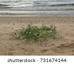 Small photo of Violet flower in sands just near salty water of the Baltic sea beach survive and bloom all summer