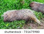 porcupine | Shutterstock . vector #731675980