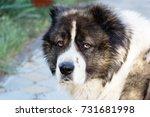 fluffy caucasian shepherd dog... | Shutterstock . vector #731681998