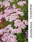 Small photo of Achillea millefolium or yarrow pink flowers close up