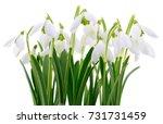 spring snowdrop flowers bouquet ... | Shutterstock . vector #731731459