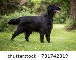 Flat Coated Retriever Dog In...