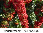 Pyracantha Coccinea   Red...