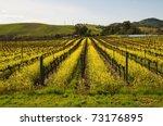 Mustard Plants Among The Vines  ...