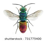 Beautiful Cuckoo Wasp Chrysis...
