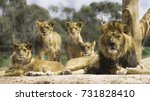 Stock photo family of lions resting in the sun and looking alert 731828410