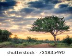 Acacia tree in South Africa savannah during sunrise