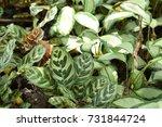 calathea zebrina  in garden. | Shutterstock . vector #731844724