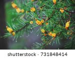 Small photo of Young evergreen conifer branch with yellow shoots in the rain. A beautiful ornamental and valuable medicinal plant. Lead time of pine buds
