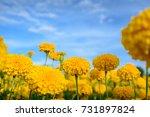 marigold flowers in the garden...   Shutterstock . vector #731897824