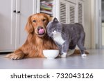 Stock photo british shorthair cats and golden retriever 732043126