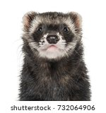 close up of a ferret  isolated... | Shutterstock . vector #732064906