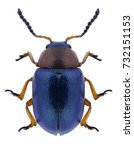 Beetle gastrophysa polygoni on...