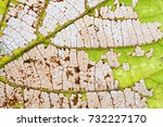 Small photo of Natural changes colorful autumn leaf aging process. Macro view aspen leaves texture, organic transparent pattern. close-up photography, selective focus