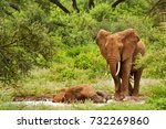 Two Elephants Having A Mud Bat...