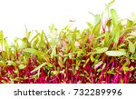 bright red beet sprouts on...   Shutterstock . vector #732289996