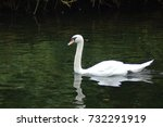 Swan Swims In The Pond