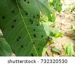 Gall Midges On Mango Leaf....