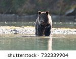 grizzly bear  ursus arctos   ... | Shutterstock . vector #732339904
