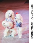 Small photo of dog waltz. Two white cropped poodles dance together on their hind legs on the red circus arena