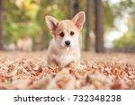 Stock photo welsh corgi pembroke puppy in autumn 732348238