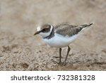 a juvenile little ringed plover ... | Shutterstock . vector #732381328