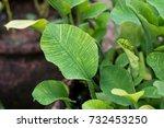 limnocharis flava leaves