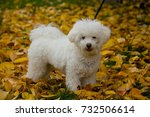 Stock photo beautiful puppy of bolognese dog 732506614