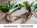 dandelion roots with leaves on... | Shutterstock . vector #732520180