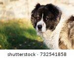fluffy caucasian shepherd dog... | Shutterstock . vector #732541858
