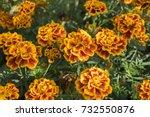 Tagetes Patula French Marigold...