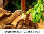 tortoise eating a papaya leaf... | Shutterstock . vector #732566440