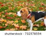 beautiful young beagle portrait ... | Shutterstock . vector #732578554
