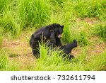 Small photo of closeup black bear cubs gambol on high grass in zoo of tropical park in Vietnam