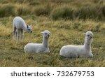 cubs alpacas rest on the... | Shutterstock . vector #732679753